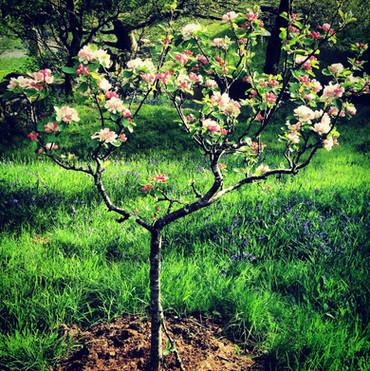 Apple blossom!