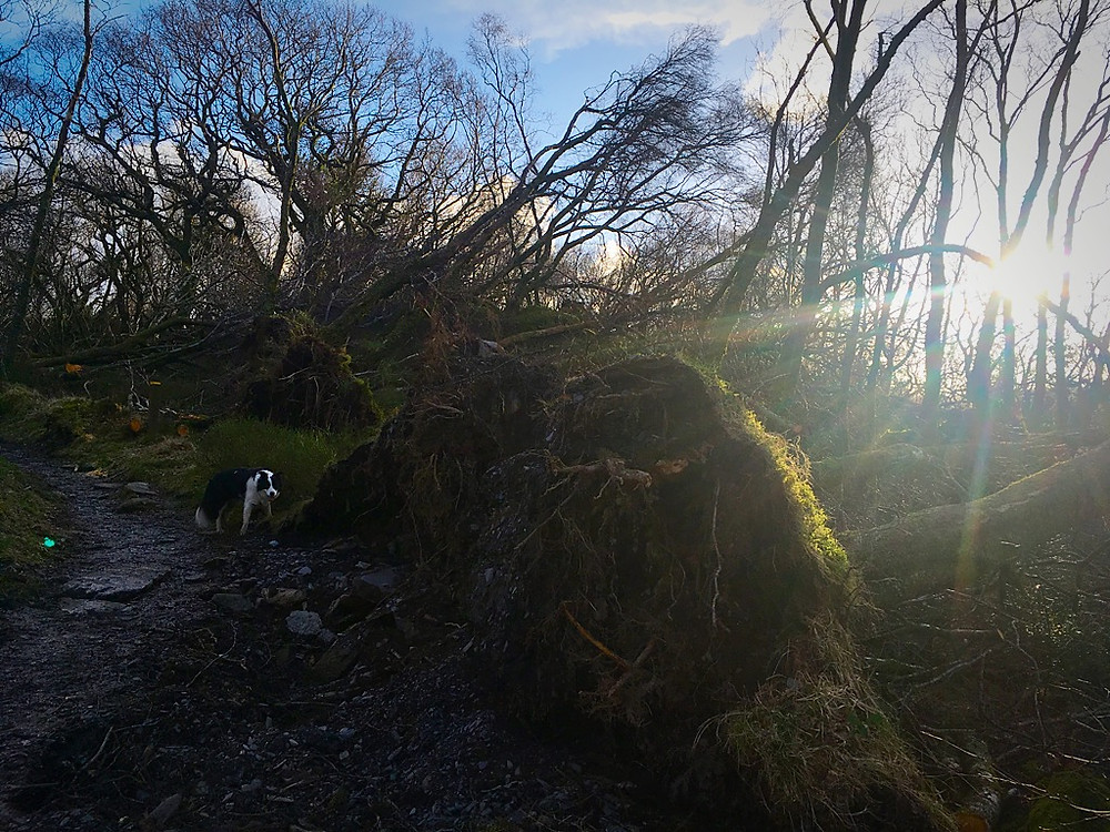 Trees felled by Storm Emma in the woods above Cae Mabon