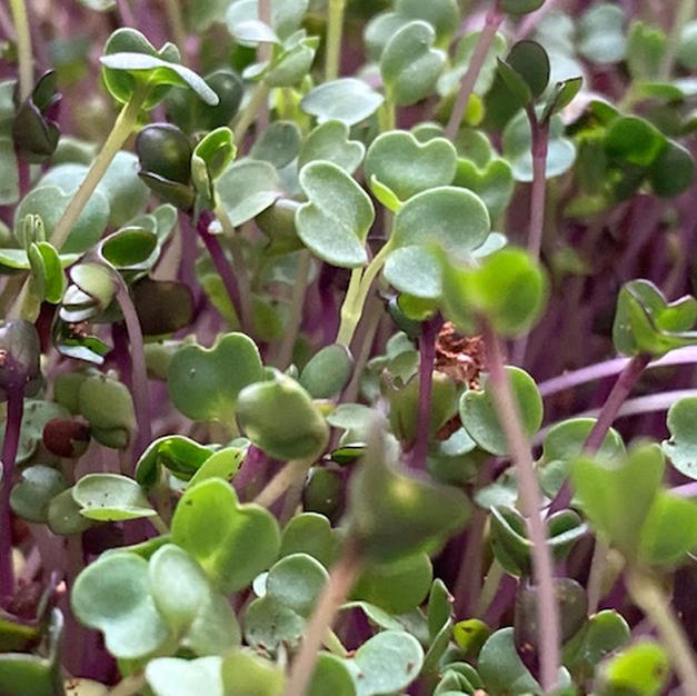 Growing Your Own Microgreens