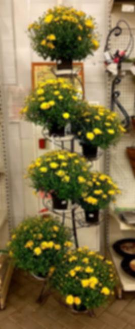 Зеленый молл. Хризантема.jpg