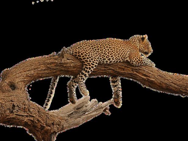 leopard-2668681_640.png