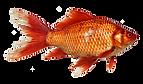 goldfish-1900832_640.png