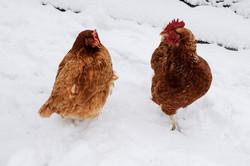 Κότες στο χιόνι