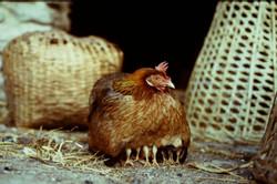 Κότα με κλωσόπουλα