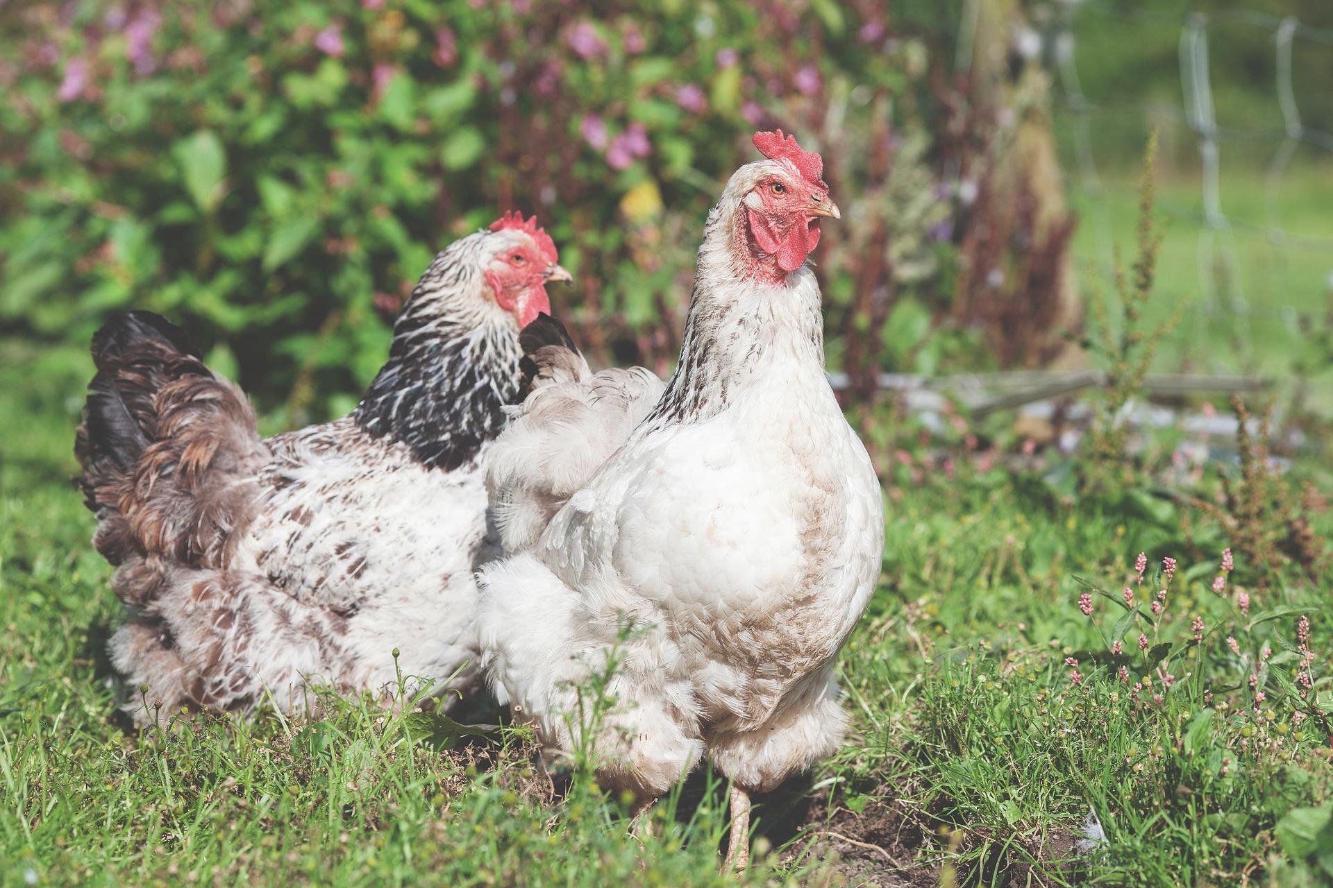 Κότες ελευθέρας βοσκής