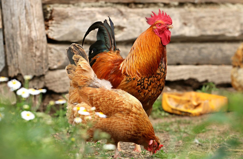 Κόκορας και κότα στην αυλή
