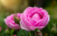 Pink of Damask Rose flower with sunlight