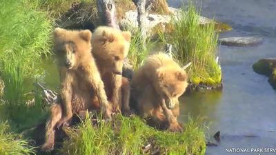 Regardez en direct et apprenez-en plus sur les ours bruns de Katmai qui est un parc en Alaska. La live cam est située dans une zone, endroit préféré des mamans ourses et de leurs oursons..