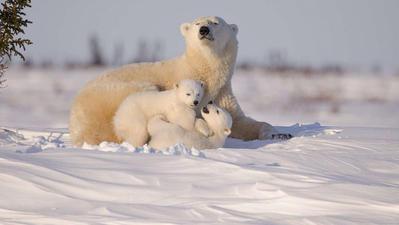 Live cam situé dans le parc national canadien de Wapusk sur une grande partie des basses-terres de la baie d'Hudson, territoire des ours polaires.. Cliquez sur la photo pour lancer le live..