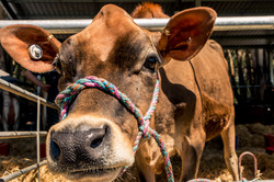 Dairy Cow Competition
