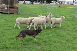 Sheep Dog Demonstrations