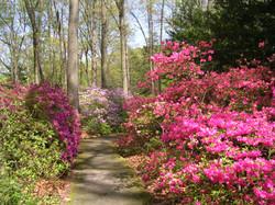 Jenkins Arboretum - azaleas