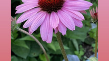 Echinacea - Natural Remedy Herb