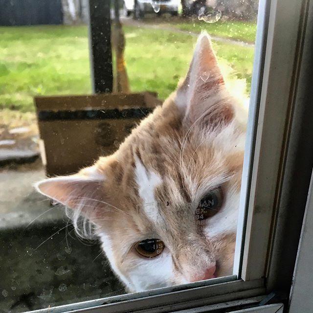 Cat looking through my kitchen window.
