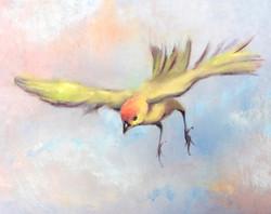 Saffron Finch 1