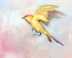 Saffron Finch 2