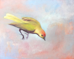 Saffron Finch 5