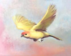Saffron Finch 8