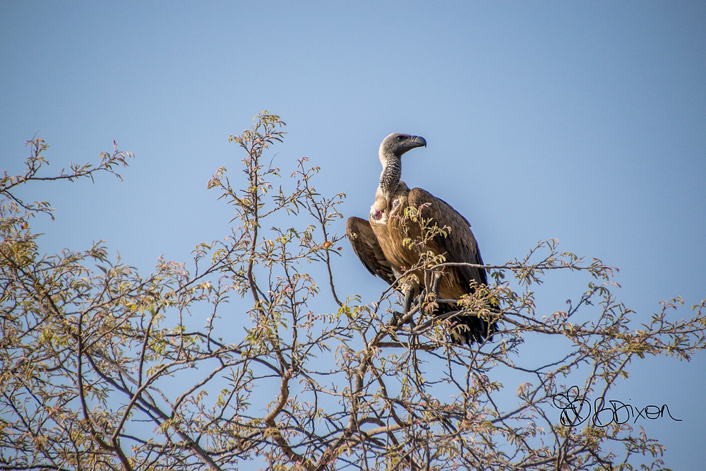 White-backed vulture in Hwange National Park