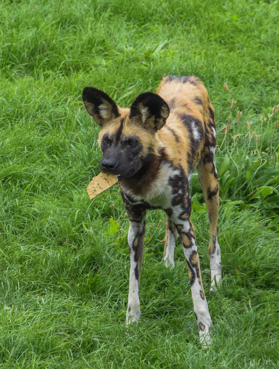 A 'wild dogs' life, part 1