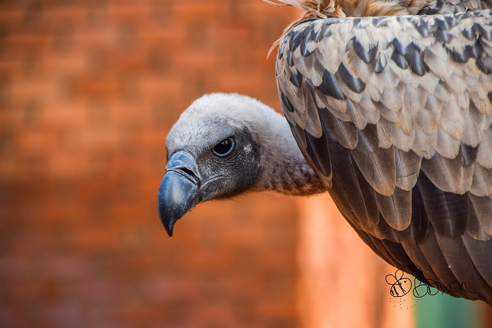 Judge, a white-backed vulture in Victoria Falls National Park