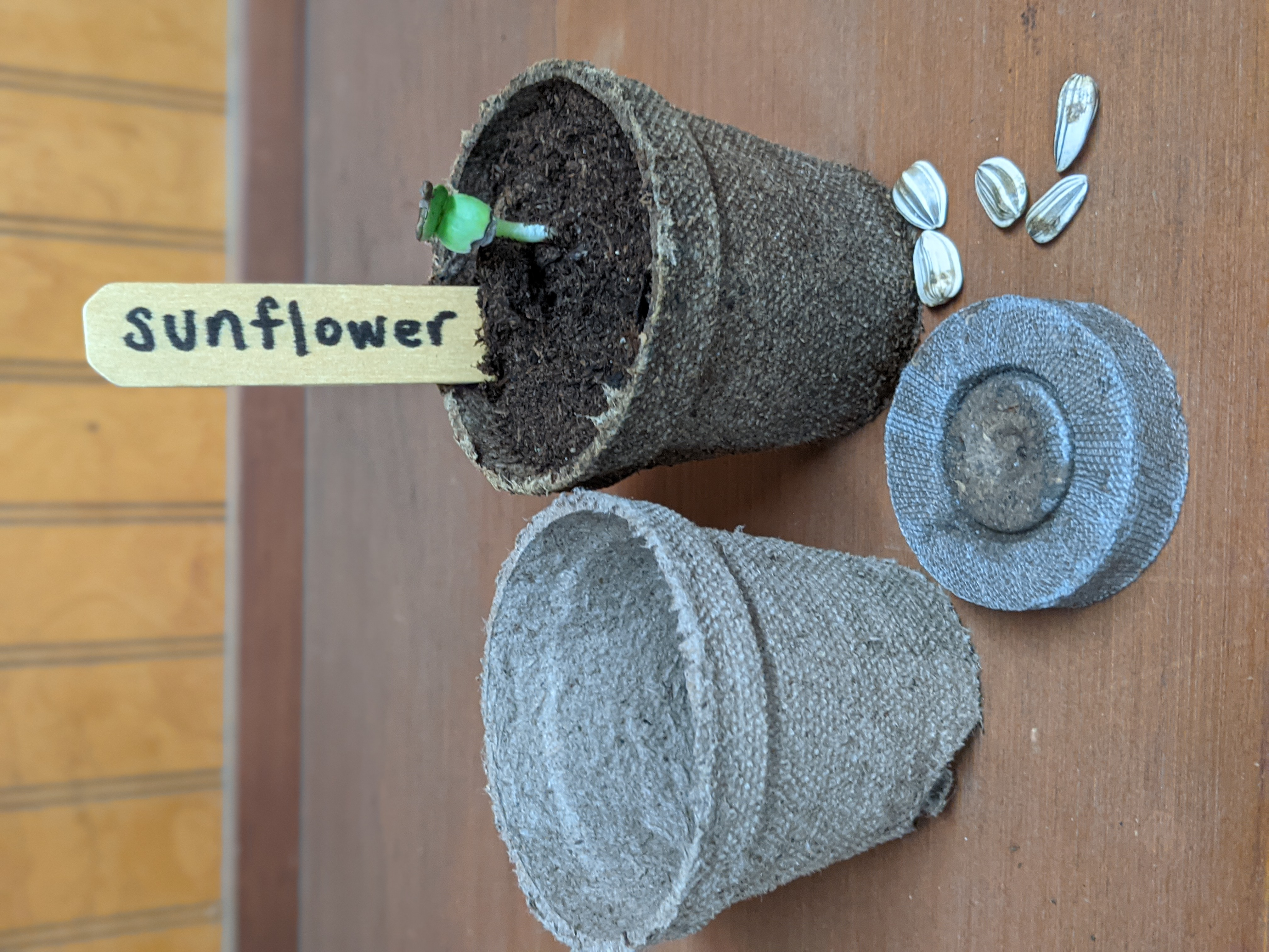 Growing a Sunflower in a peat pot