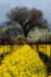 Yellow-Vinyard-with-Tree.jpg
