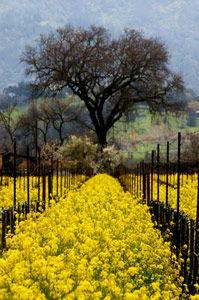 Yellow-Vinyard-with-Tree.jpg