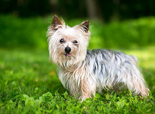 yorkshire-terrier-im-grass.jpg