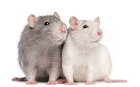 Rats.jfif