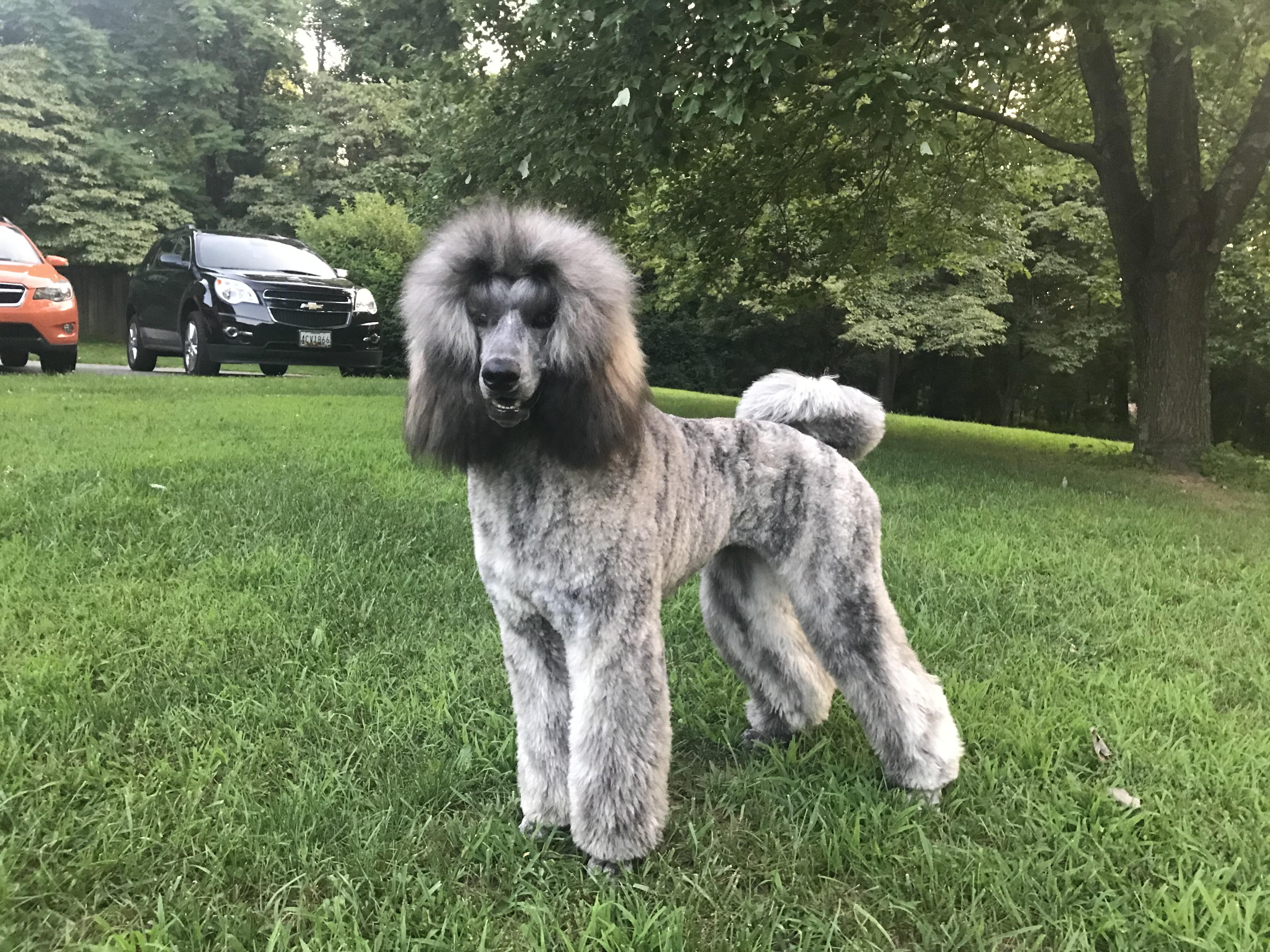 Freya the Standard Poodle