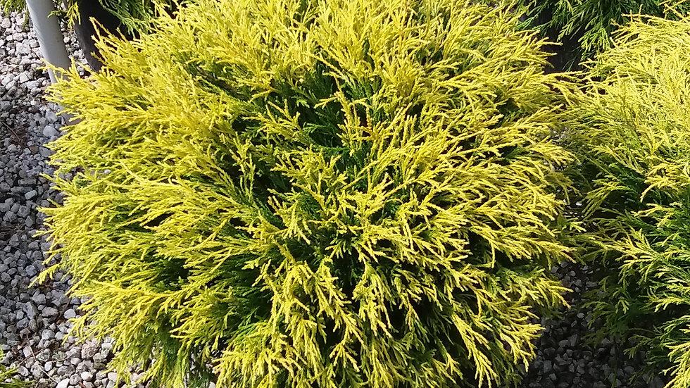 """""""MopTop""""Golden Cypress"""