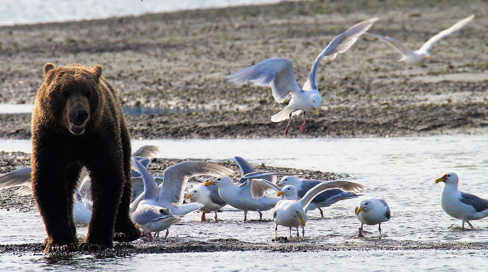 Katmai bear photography