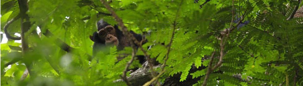 Chimpanzé 'Pan troglodytes verus'