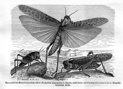 locusts3.JPG