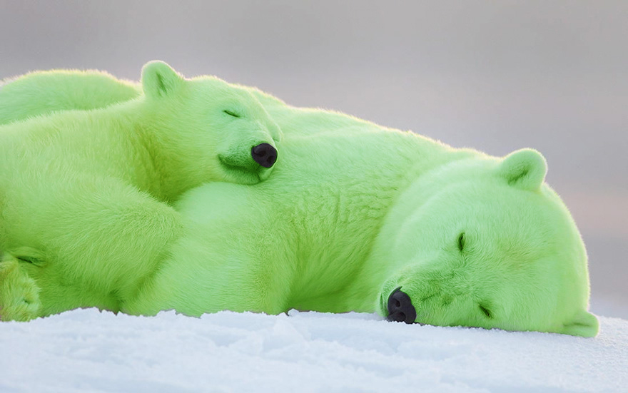 Polar Bear Colouring