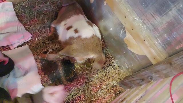 A Goat Birth