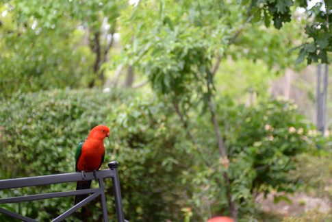 King Parrot frequent visitor