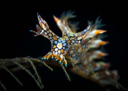 Bornella anguilla