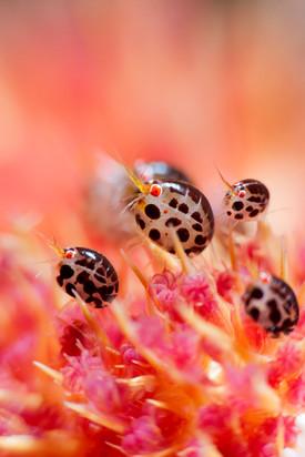 Ladybug - Amphipod