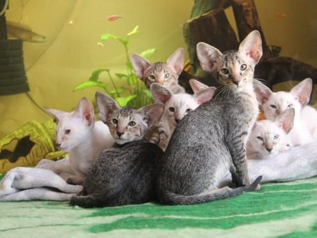 Сиамские и ориентальные котята из питомника Chrysolite