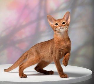 Абиссинский котик из питомника Golden Spark