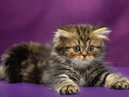 Британские котята из питомника GRAND PRIDE