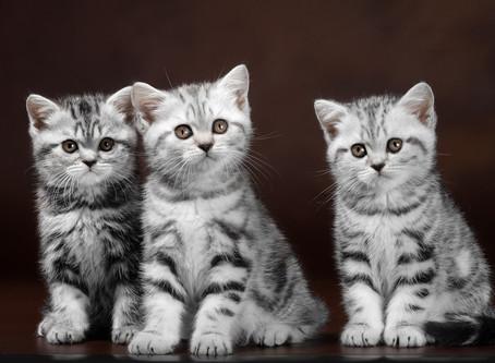 Британские котята (продано)