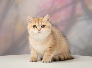 Британские золотые котята из питомника GOLDEN SPARK