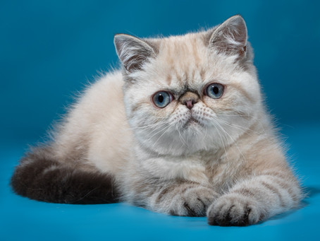 Экзотический котик (продан)