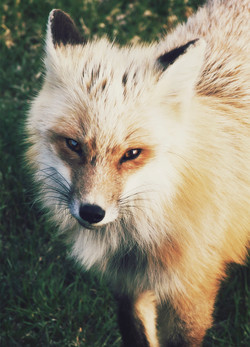 Local Red Fox