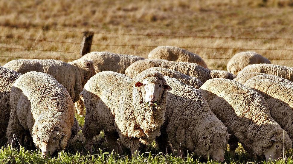 Sheep nuts