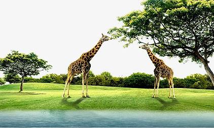 dwie zyrafy pogryzajace drzewo_zmniejszo