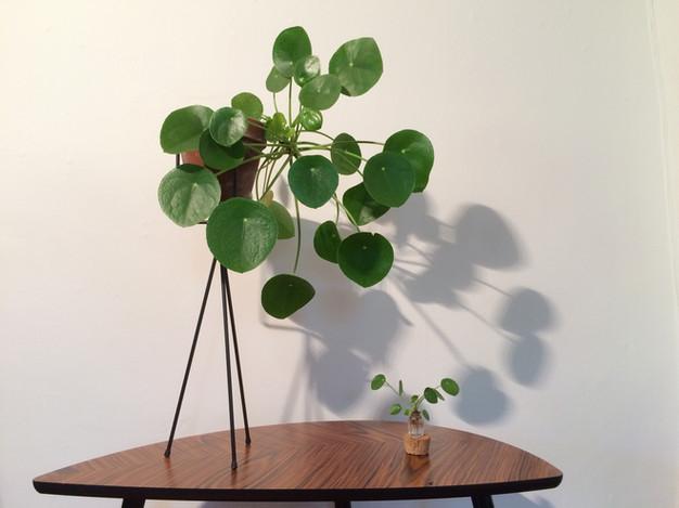 pilea peperomioides anton botanical. Black Bedroom Furniture Sets. Home Design Ideas